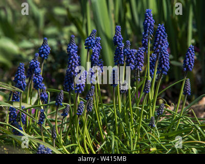 Grape Hyacinth (Muscari armeniacum) is a perennial bulb that blossoms into urn-shaped flowers in the Spring.