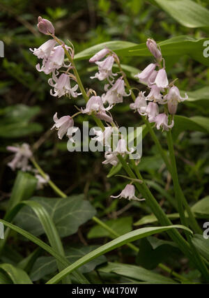 Spanish Bluebells, Hyacinthoides Hispanica, is a spring-flowering bulbous perennial. - Stock Photo