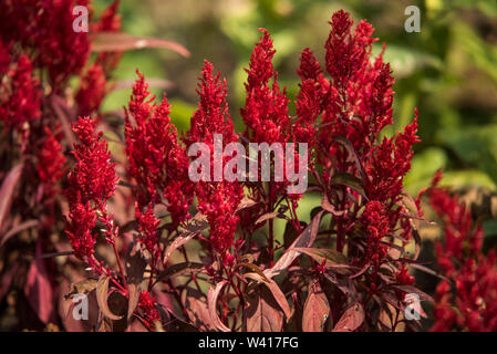 A red Celosia Argentea var Plumosa with bronze / purple leaves and red stems, topped with a bright red plume or flame. - Stock Photo