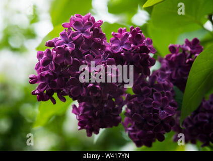 Purple French Lilac (Syringa Vulgaris) with large panicles of flowers.They are small trees, upto 10 metres. Great for attracting butterflies and bees. - Stock Photo
