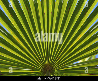 Close-up detail of a leaf on a palm plant Trachycarpus Fortunei in a London garden against a blue sky. Light shines through showing leaf structure. - Stock Photo