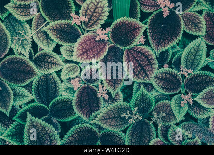 Leaves of Pilea mollis. Green Leaf. Nature background - Stock Photo