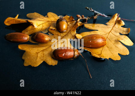 Acorns with oak leaves in the autumn lie in a puddle - Stock Photo