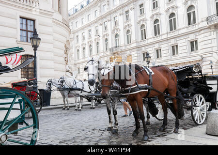 Pair of white and brown horses in harness, vintage style. Old horse-drawn carriage riding on city street at Hofburg palace in Vienna, Austria - Stock Photo