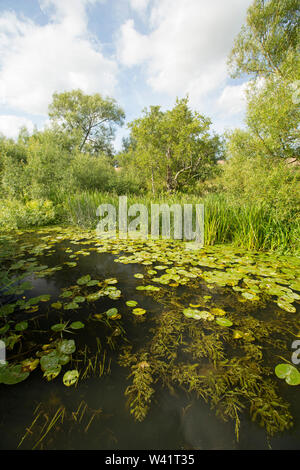 Lily pads and other water plants and bankside vegetation growing in the Dorset Stour river near Sturminster Newton in July. Dorset England UK GB. - Stock Photo