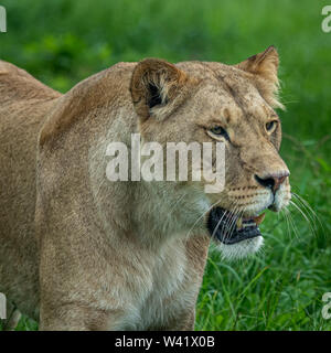 A beautiful Lioness portrait  of her watching another lion which came close to where she is standing - Stock Photo