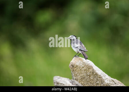 Pied wagtail perched on stone wall, soft green background - Stock Photo