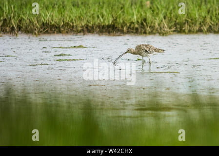 Curlew feeding on the mudflats of Poole harbour, the bird has a small crab in its beak - Stock Photo