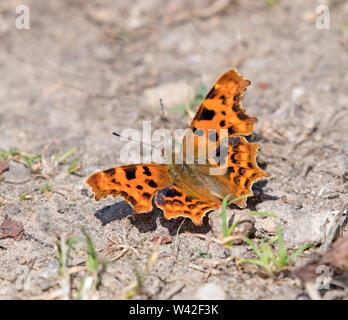 Butterfly, Comma, Poligonia - Stock Photo