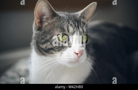 Beautiful striped house cat with bright green eyes rapidly and seriously watching something, looking away. - Stock Photo