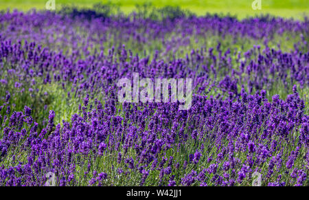 Lavender flowers, Closeup view of a lavender field blooming in springtime - Stock Photo