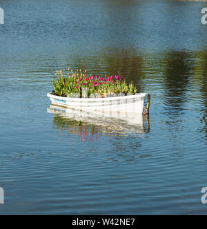 Display of colourful Tulips  tulipa  in a wooden boat on a lake in Staffordshire England UK Europe. - Stock Photo