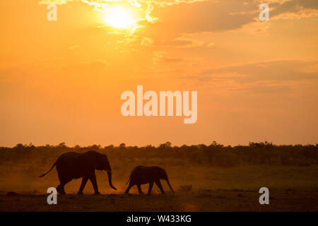 Mooiplaas is a popular waterhole for elephants, Loxodonta africana, to come to drink at sunset in the Mopani Region, Kruger National Park, Limpopo, So - Stock Photo