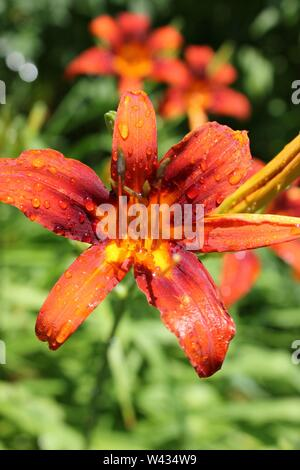 Bright orange tiger lilies growing in a field on a hot and sunny summer day, aka Ditch Lily, Liliaceae, Lilium tigrinum, Devil Lily, Kentan. - Stock Photo
