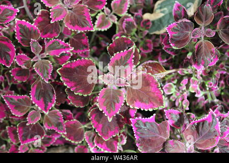 Brightly colored, coleus, Plectranthus scutellarioides, painted nettle. - Stock Photo