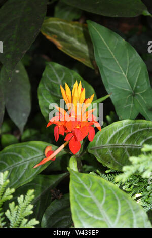 An orange and yellow tropical flower, Fiery Spike, surrounded by large green leaves in Hawaii, USA - Stock Photo