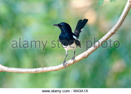 Oriental Magpie Robin Copsychus saularis Beautiful Male Birds of Thailand perching on the tree - Stock Photo