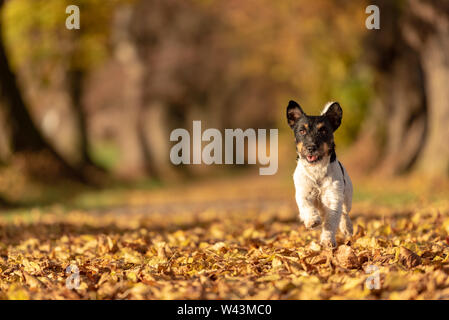 Jack Russell Terrier hound. Young cute dog is running fast through a tree avenue in the woods - Stock Photo