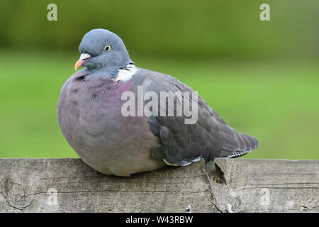 Portrait of a common wood pigeon (columba palumbus) sitting on a wooden fence - Stock Photo