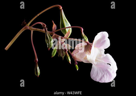 A photograph of a Himalayan Balsam flower Impatiens glandulifera, and its green, developing seed pods. The pods are capable of firing the seeds severa