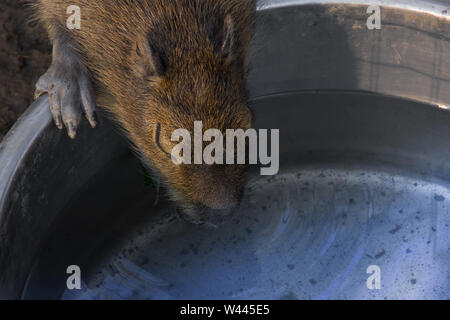 Close up view of one capybara (Hydrochoerus hydrochaeris) drinking a water. - Stock Photo