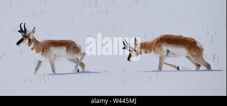 Two Pronghorn Antelope struggle as they move through deep snow. - Stock Photo