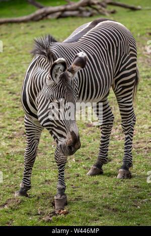 Detroit, Michigan - A Grevy's Zebra (Equus grevyi) at the Detroit Zoo. - Stock Photo
