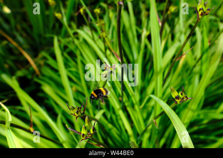 A bumblebee feeding on the forming flowers in the tall grass of a clump of Crocosmia Lucifer in a wild flower bed of an English country cottage garden - Stock Photo
