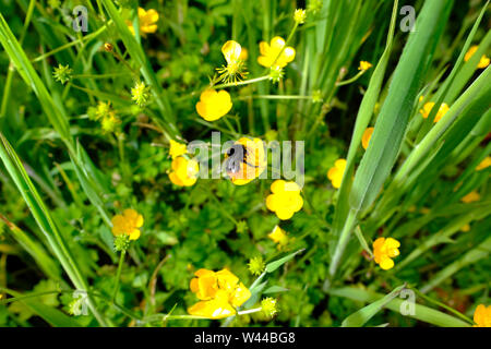 A bumblebee feeding on buttercup flowers in the tall grass of a clump of Crocosmia Lucifer in a wild flower bed of an English country cottage garden - Stock Photo
