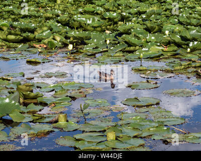 A single duck swims in a lake filled with lily pads and water lilies - Stock Photo