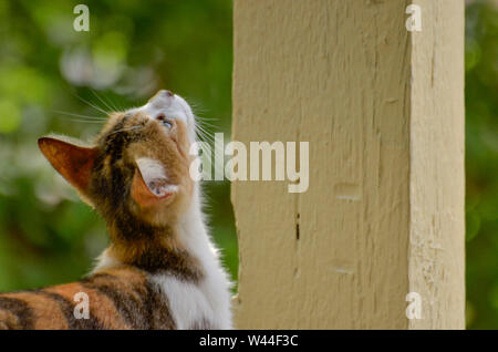 calico kitten looking up - Stock Photo