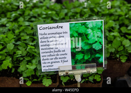 A closeup view of a French sign describing coriander (Coriandrum sativum), aka Chinese parsley, young blurry plants in biodegradable pots are seen in background - Stock Photo