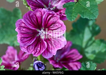 Close up of blooming hollyhock flower Alcea rosea and budding flower with blur background. Purple flower in sunny day. - Stock Photo