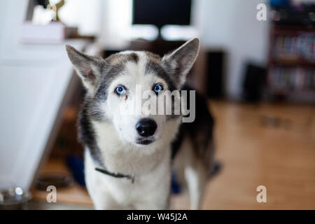 An inquisitive Siberian Husky is seen close up indoors. Snout view of a one year old healthy pet dog with short white and grey coat stands in family room. - Stock Photo