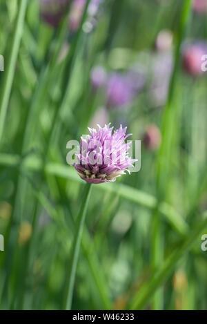 Flowering Chives (Allium Schoenoprasum). an edible species of the Allium Genus, closely related to Garlic, Shallot, Leeks, Scallion & Chinese Onion - Stock Photo