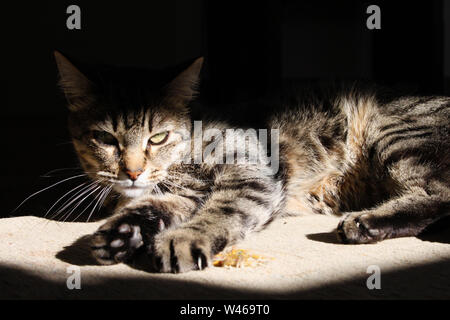 Cat chilling on an old and dusty vintage carpet in the middle of a room, between a light beam and the shodows created by the windows