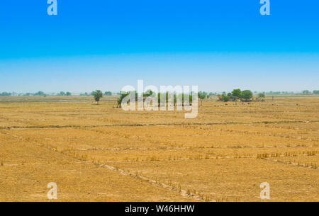 view of wheat field after harvest in rahim yar khan,pakistan.golden crop field after cutting. - Stock Photo