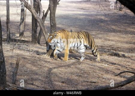 Tiger on a stroll, in the woods of Ranthambore National Park, India - Stock Photo