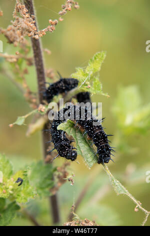 Peacock Butterfly caterpillar on Common Nettle, (Urtica dioica), England, UK - Stock Photo
