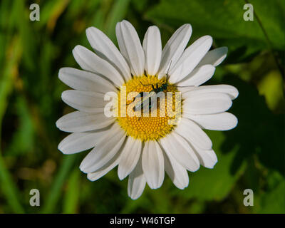 Thick legged flower beetle on a daisy on summer day in the UK - Stock Photo