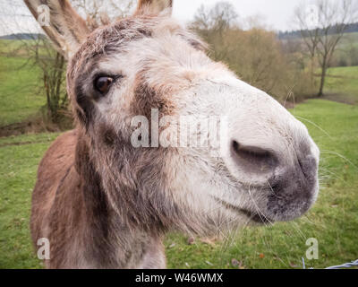 Equus africanus asinus, domestic donkey on a pasture in the countryside in Bavaria, Germany - Stock Photo