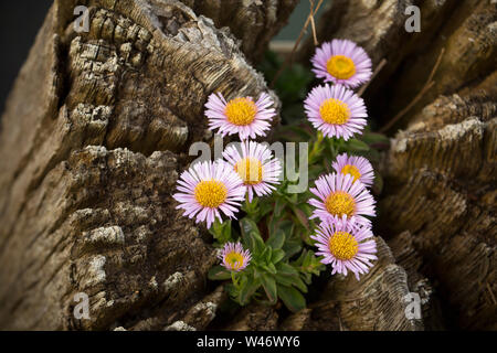 An example of Erigeron Glaucus, growing on top of a wooden piling alongside West Bay harbour in Dorset. The plant is known by several names such as se