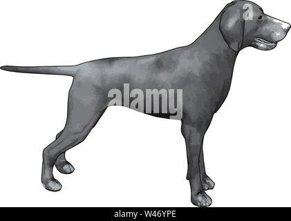 Gray weimaraner, illustration, vector on white background. - Stock Photo