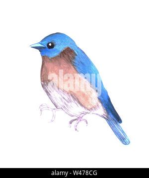 Eastern bluebird or Sialia sialis isolated on white - Stock Photo