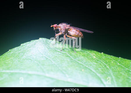 Fruit fly Drosophila (lat. Drosophila), some species as objects of genetic research and evaluation of the negative effects of drugs and pollutants. Ma - Stock Photo