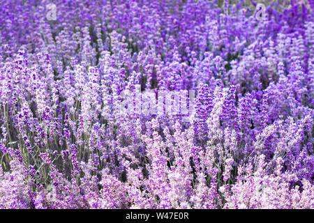 Purple violet color lavender flower field closeup background. Selective focus used. - Stock Photo