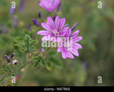 Closeup of Malva sylvestris, common names are common mallow, cheeses, high mallow or tall mallow, blooming in the summer season - Stock Photo