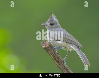 North American small wild songbird Tufted Titmouse Baeolophus bicolor perched on tree branch. - Stock Photo