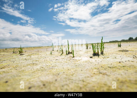 Close up shoot of wild samphire growing at the sandy shore. Isle of Anglesey in North Wales, UK - Stock Photo