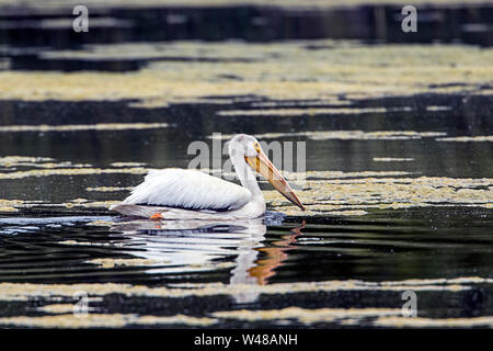 A white American Pelican is swimming in the water at Turnbull Wildlife Refuge in Cheney, Washington.